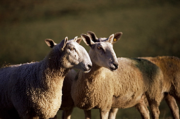 Blue faced Leicester sheep, Pennines, Eden Valley, Cumbria, England, United Kingdom, Europe