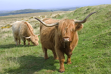Highland cattle grazing on Dartmoor, Dartmoor National Park, Devon, England, United Kingdom, Europe
