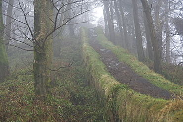 A pathway along the top of an overgrown section of Hadrians Wall through Housesteads Wood, UNESCO World Heritage Site, Northumberland National Park, England, United Kingdom, Europe