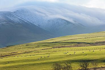 Winter clouds clinging to the Skiddaw Massif, sheep grazing on the fellside, Back o'Skiddaw, Cumbria, England, United Kingdom, Europe