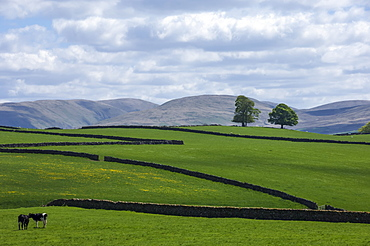 Dry stone walls, Eden Valley, Cumbria, England, United Kingdom, Europe