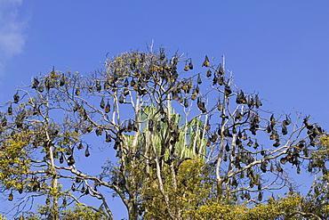 Grey-headed Flying Fox, (Ptereopus poliocephalus), Botanical Garden, New South Wales, Sydney, Australia