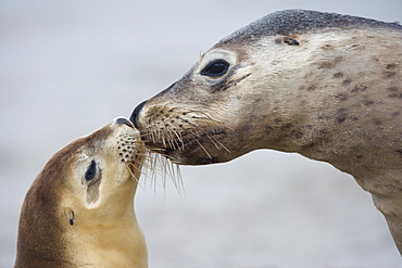 Australian sea lion (Neophoca cinerea), Seal Bay, Kangaroo Island, South Australia, Australia, Pacific