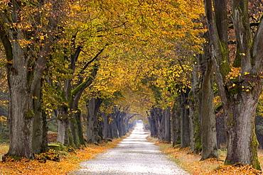 Tree Avenue, Old Tree Avenue, Bielefeld, Nordrhein Westfalen, Germany
