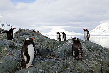 Gentoo penguins (Pygoscelis papua papua), Paradise Bay, Antarctic Peninsula, Antarctica, Polar Regions