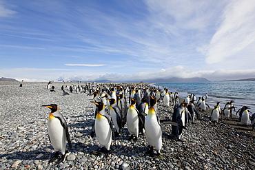 King penguin colony (Aptenodytes patagonicus), Salisbury Plain, South Georgia, Antarctic, Polar Regions