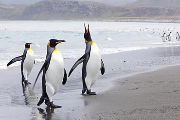 King penguins (Aptenodytes patagonicus), Salisbury Plain, South Georgia, Antarctic, Polar Regions