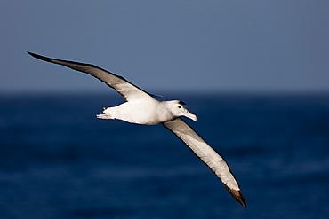 Wandering albatross (Diomedea exulans), Southern Ocean, Antarctic, Polar Regions
