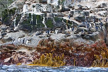 New Zealand fur seals and erect-crested penguins, Bounty Island, Sub-Antarctic, Polar Regions