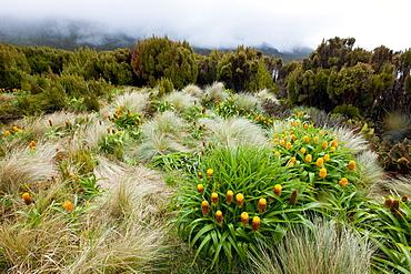 Yellow Bulbinella rossii, Genus, Campbell Island, Sub-Antarctic, Polar Regions