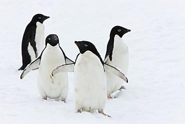 Adelie penguins (Pygoscelis adeliae), Commonwealth Bay, Antarctica, Polar Regions