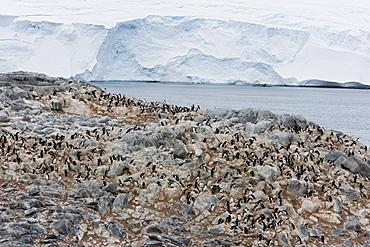 Adelie penguin colony (Pygoscelis adeliae), Commonwealth Bay, Antarctica, Polar Regions
