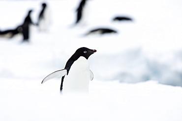 Adelie penguin (Pygoscelis adeliae), Commonwealth Bay, Antarctica, Polar Regions