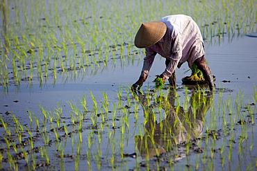 Farmer planting rice, Kerobokan, Bali, Indonesia, Southeast Asia, Asia