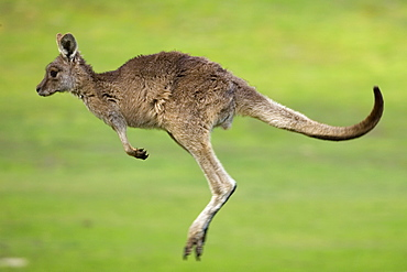 Eastern Grey Kangaroo, (Macropus giganteus), Anglesea, Great Ocean Road, Victoria, Australia