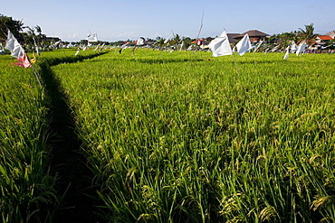 Rice field, Kerobokan, Bali, Indonesia, Southeast Asia, Asia
