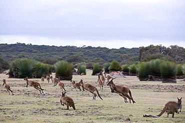 Kangaroo Island grey kangaroos (Macropus fuliginosus), Kelly Hill Conservation, Kangaroo Island, South Australia, Australia, Pacific