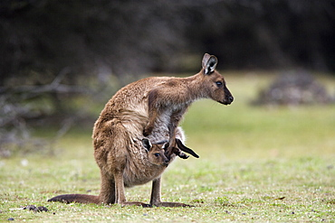 Kangaroo Island grey kangaroo (Macropus fuliginosus) with joey in pouch, Kelly Hill Conservation, Kangaroo Island, South Australia, Australia, Pacific