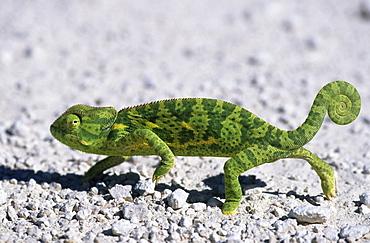 Flap-necked Chameleon, (Chamaeleo dilepsis), Etoscha National Park, Namibia