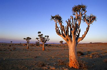 Kokerboom, (Aloe dichotoma), Blutkopje, Namibia