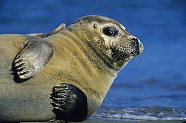 Harbor Seal, Phoca vitulina, Helgoland, Schleswig-Holstein, Germany
