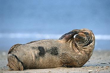 Grey seal (Halichoerus grypus), Helgoland, Schleswig-Holstein, Germany