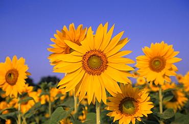 Sunflower, (Helianthus spec), Bielefeld, NRW, Germany