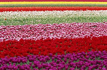 Tulipa species, Alkmaar, Holland (Netherlands), Europe