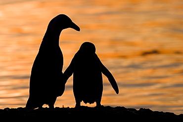 Jackass Pinguin, (Spheniscus demersus), Boulder's Beach, Capetown, South Africa