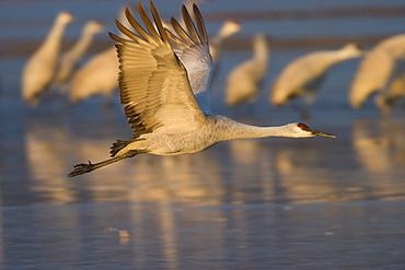 Sandhill crane (Grus canadensis), Bosque del Apache, Socorro, New Mexico, United States of America, North America