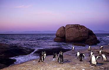 African (Jackass) penguins, (Sphensiscus demersus), Cape Town, South Africa, Africa