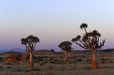 Kokerboom, Aloe dichotoma, Blutkopje, Namibia, Africa