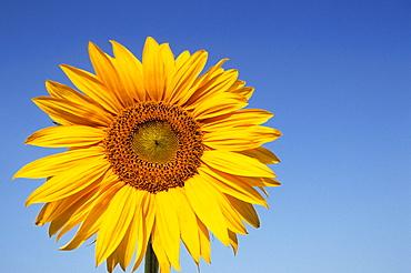 Sunflower, Helianthus spec. Bielefeld, NRW, Germany, Europe
