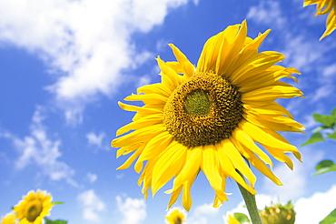 Sunflower, Helianthus species, Bielefeld, North Rhine-Westphalia, Germany, Europe