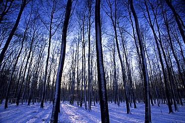 Forest in winter time, Bielefeld, Nordrhein Westfalen, Germany, Europe