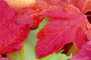 Maple leaves in fall, Bielefeld, Germany, Europe