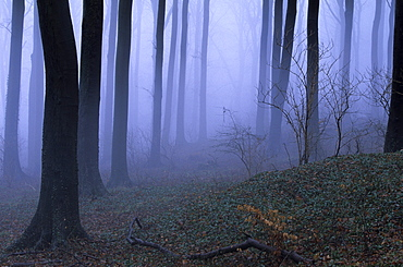 Forest in the fog, Bielefeld, Germany, Europe