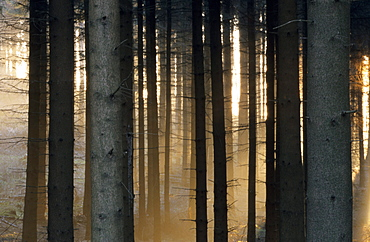 Fog in the forest, Bielefeld, North Rhine-Westphalia, Germany, Europe