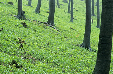Forest in spring time, Bielefeld, North Rhine-Westphalia, Germany, Europe