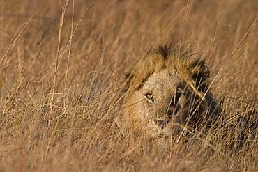 Lion, Panthera leo, Moremi Wildlife Reserve, Botswana, Africa
