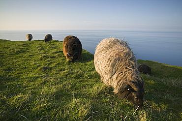 Domestic sheep, Heligoland, Germany, Europe