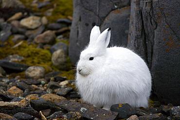 Snow hare, Lepus americanus, Churchill, Manitoba, Canada, North America