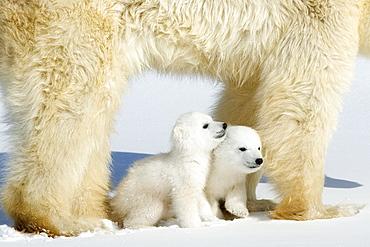 Polar bear (Ursus maritimus) mother with twin cubs, Wapusk National Park, Churchill, Hudson Bay, Manitoba, Canada, North America - 748-548