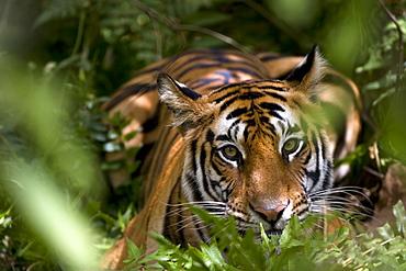 Female Indian Tiger (Bengal tiger) (Panthera tigris tigris) at samba deer kill, Bandhavgarh National Park, Madhya Pradesh state, India, Asia