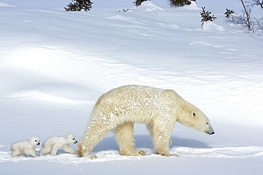 Polar bear (Ursus maritimus) mother with twin cubs, Wapusk National Park, Churchill, Hudson Bay, Manitoba, Canada, North America - 748-550