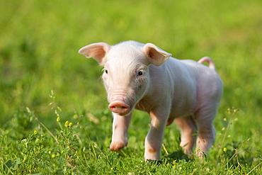 Domestic pig, Huellhorst, Germany, Europe