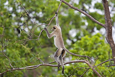 Hanuman langur (Presbytis entellus), Bandhavgarh National Park, Madhya Pradesh state, India, Asia