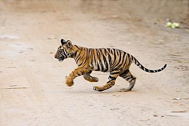 Indian tiger cub (Bengal tiger) (Panthera tigris tigris), Bandhavgarh National Park, Madhya Pradesh state, India, Asia