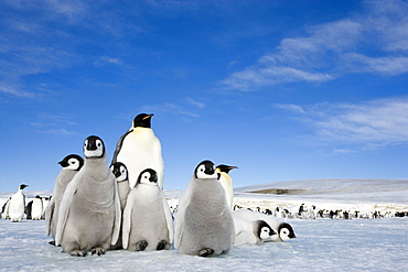 Emperor penguin (Aptenodytes forsteri) and chicks, Snow Hill Island, Weddell Sea, Antarctica, Polar Regions