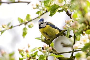Blue Tit, (Parus caeruleus), Bielefeld, Nordrhein Westfalen, Germany